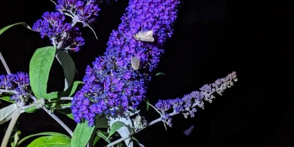 Unknown-Moth1.jpg