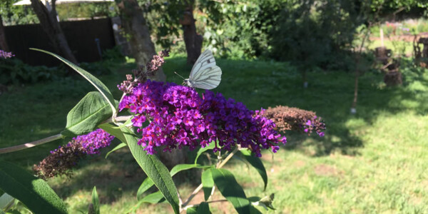 Green-Veined-White-Butterfly.jpg