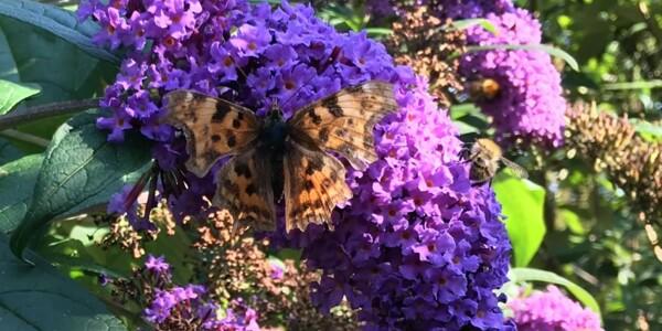 Comma-Butterfly1.jpg