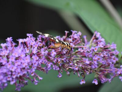 Jersey-Tiger-Moth2.jpg