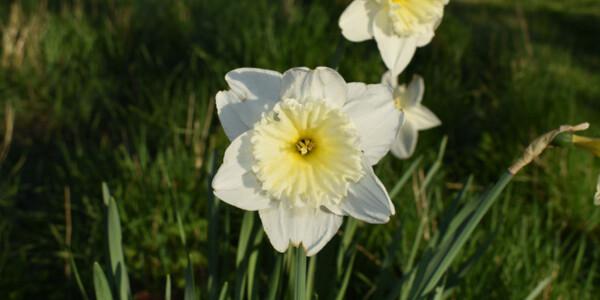 Daffodil-3.jpg