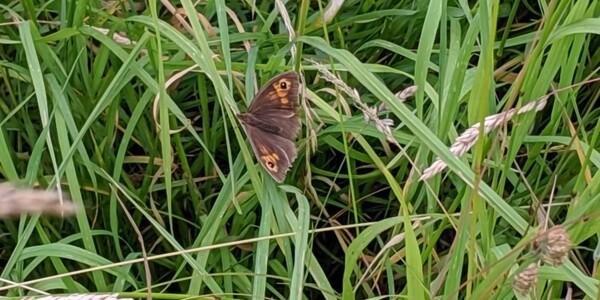 Meadow-Brown.jpg