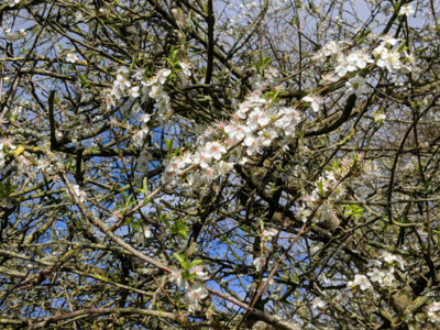 Orchard-Apple-Blossom.jpg