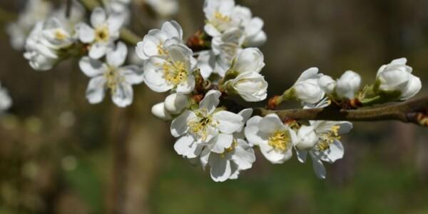 Blossom9.jpg