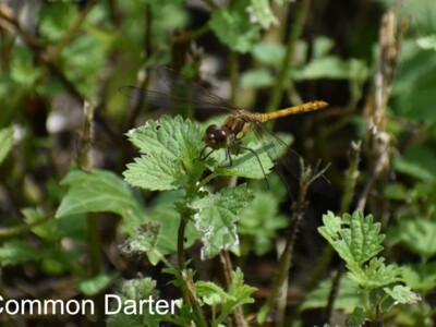 Common-Darter-900x600.jpg