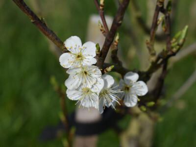 Apple-Blossom-3.jpg