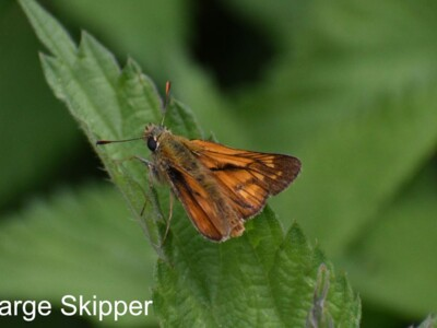 Large-Skipper.jpg