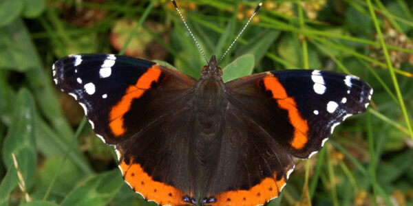 Red-Admiral.jpg