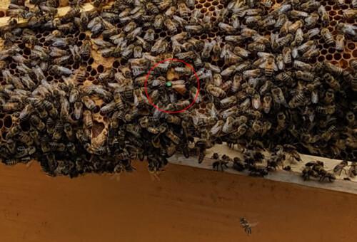 Orchard-Bee-Queen2.jpg