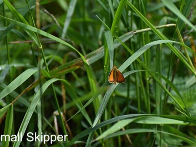 Small-Skipper.jpg