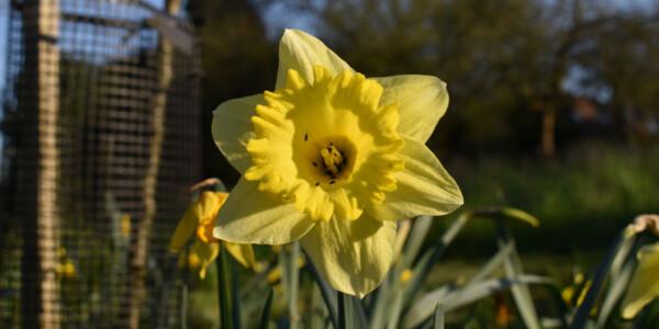 Daffodil-4.jpg