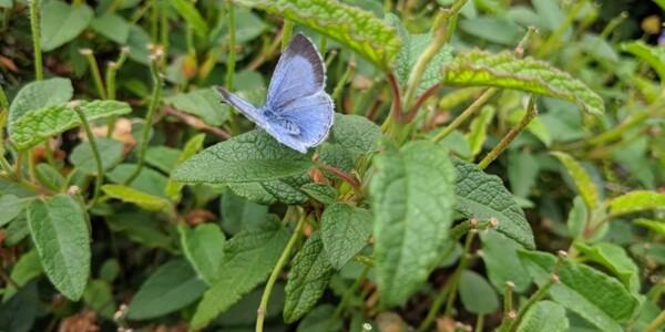 Holly-Blue.jpg