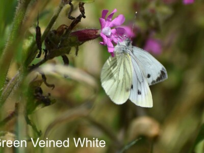 Green-Veined-White.jpg