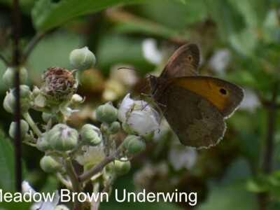 Meadow-Brown-Underwing.jpg