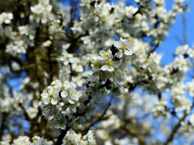 Pershore-Blossom.jpg
