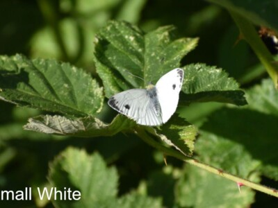Small-White1.jpg