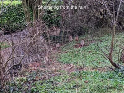 Orchard-Pheasants.jpg