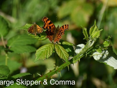 Large-Skipper-Comma.jpg