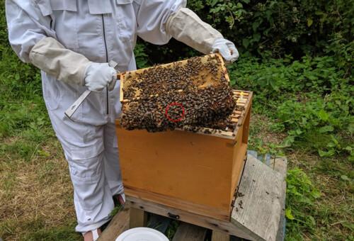 Orchard-Bee-Queen1.jpg
