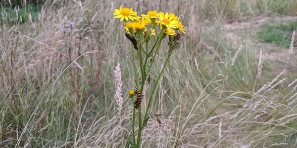 Cinnabar-Caterpillar.jpg