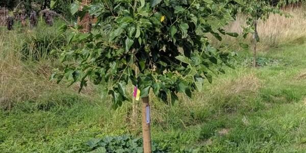 Mulberry-Tree.jpg