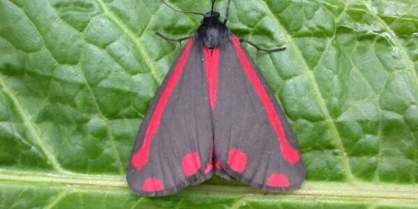 Cinnabar-Moth.jpg