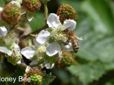 Honey-Bee-900x600.jpg