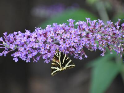 Jersey-Tiger-Moth1.jpg
