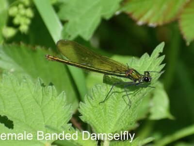 Female-Banded-Damselfly-900x600.jpg