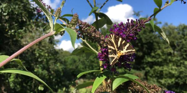 Jersey-Tiger-Moth.jpg