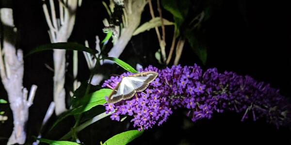 Box-Tree-Moth2.jpg