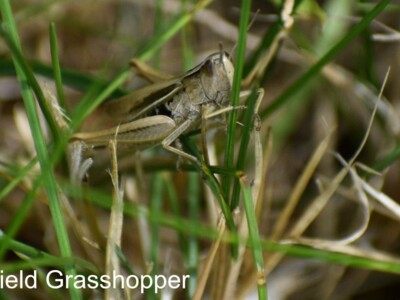 Field-Grasshopper.jpg