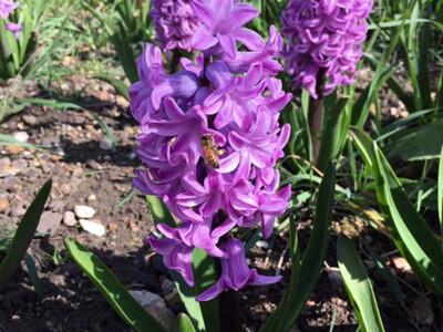Bee-Hyacinth.jpg