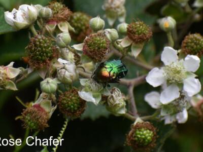 Rose-Chafer-900x600.jpg
