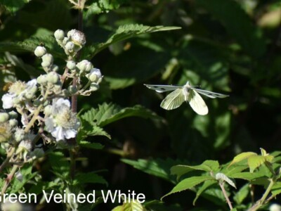 Green-Veined-White-Flight.jpg